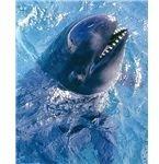 484px-Pseudoorca Crassidens false killer whale