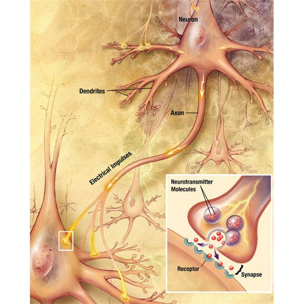 Brain chemistry and neurotransmitters a study guide example of a synapse of a neuron ccuart Image collections