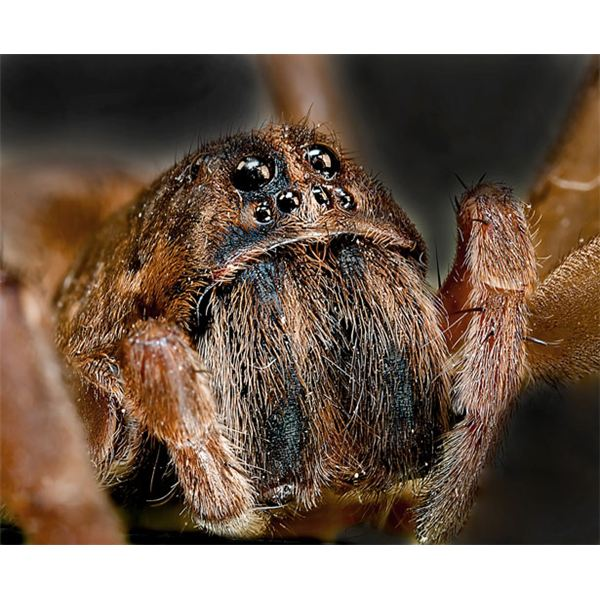 Wolf Spider - Image Credit: https://www.publicdomainpictures.net/view-image.php?image=3186&picture=wolf-spider