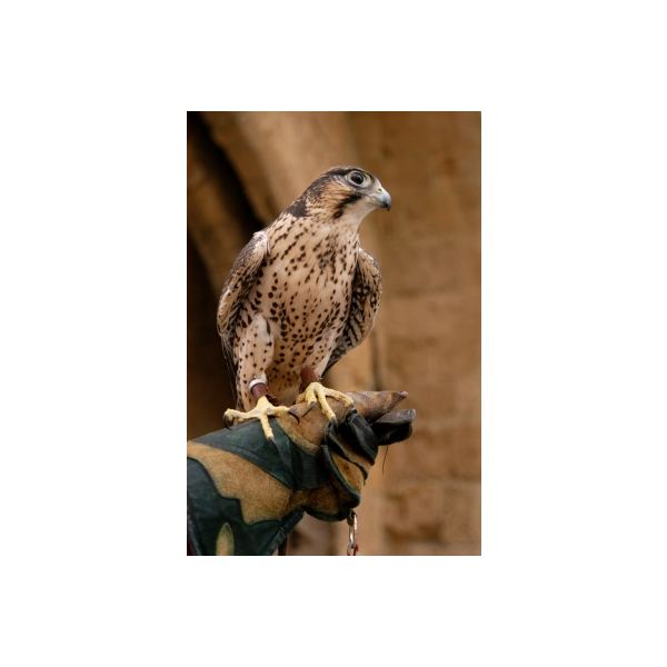 Falconry & Hunting in the Middle Ages: Important Medival Jobs