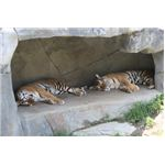 The Amur tigers would rather sleep