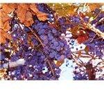 purple concord grapes