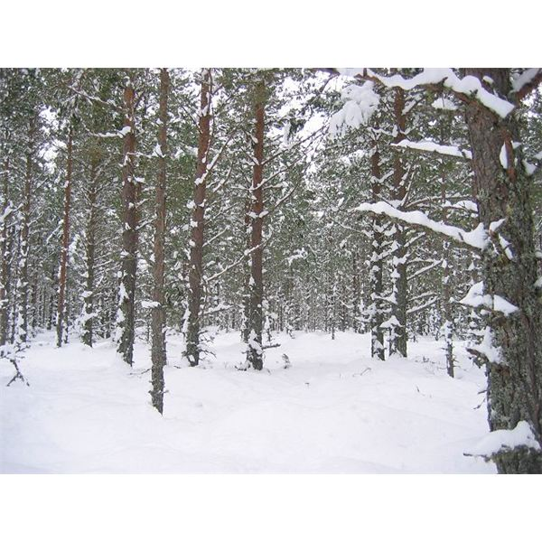 Abernethy Forest - geograph.org.uk - 134031