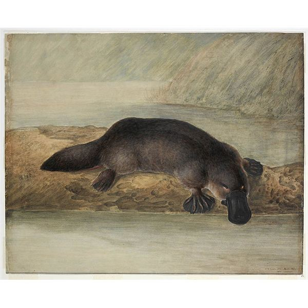 733px-Platypus by Lewin