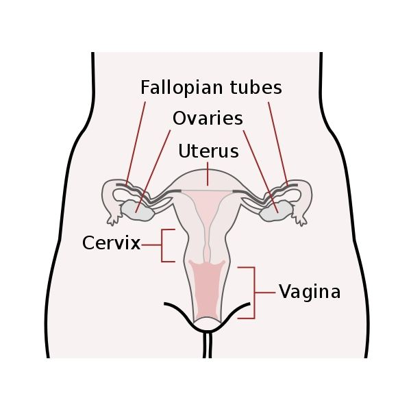 Functions And Anatomy Of The Female Reproductive System