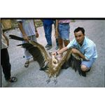 Poisoned Griffon Vulture