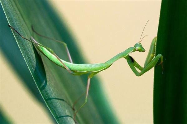 Praying Mantis Doing Gymnastics