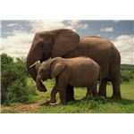 Two Elephants in Addo Elephant National Park