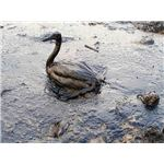 Oiled Bird - Black Sea Oil Spill 111207