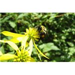 Bumble bees have yellow bands all the way around