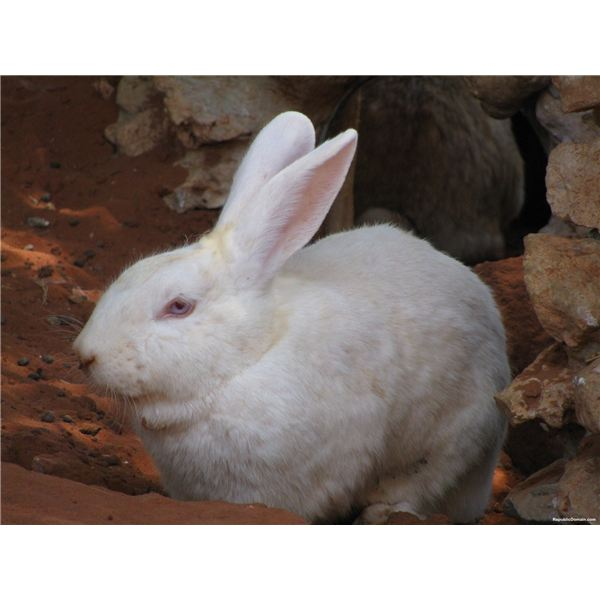 Rabbits are Commonly Used in Cosmetic Animal Testing
