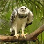 600px-Harpia harpyja -Belize Zoo-8-3c