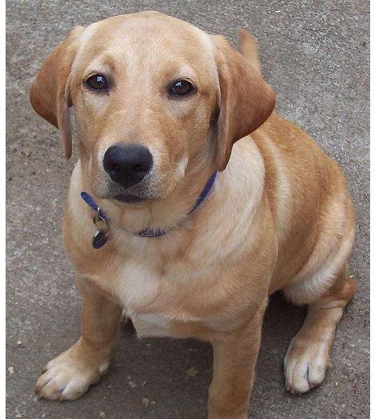 522px-Labrador jeune chienne assise