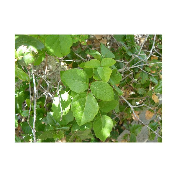Home Remedies for Poison Oak — Learn How to Treat Poison Oak Naturally