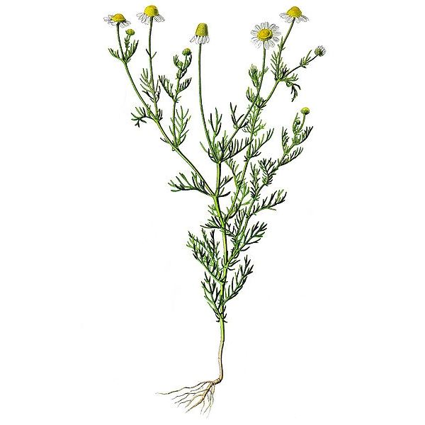 Chamomile (used to treat constipation)