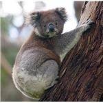 Koala climbing a tree.