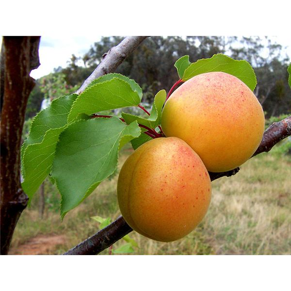 Apricot Nutrition Facts: Detailed Information About Health Benefits and the Nutrition Content