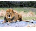 800px-Lion King