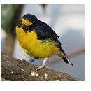 yellow breasted bird
