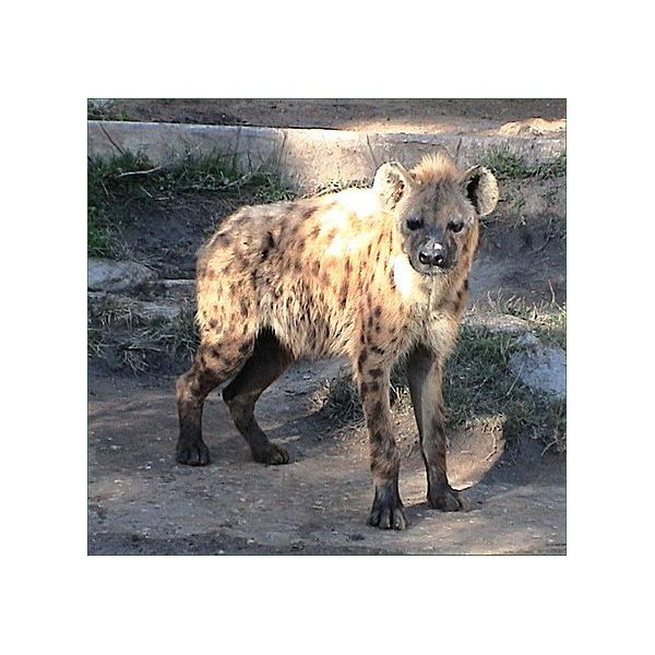 Spotted hyena2