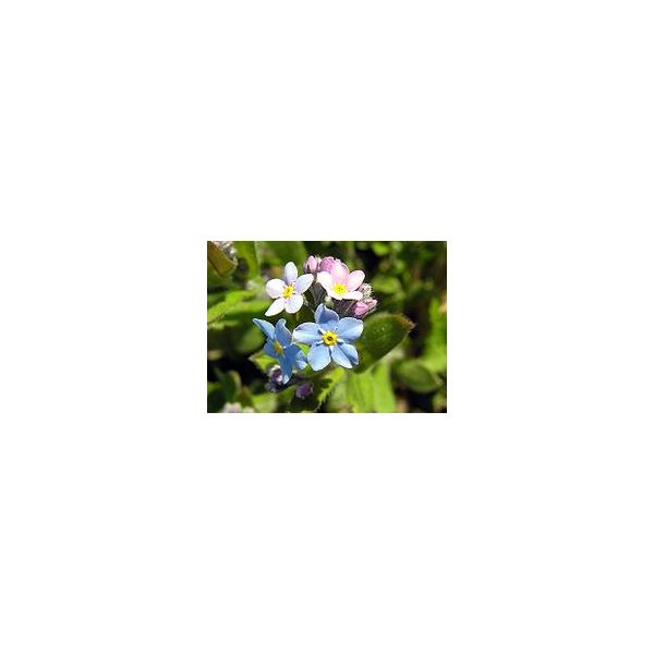 Forget-me-not from Wikipedia