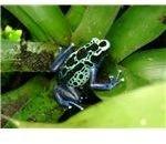 poisonarrowfrog