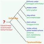 New World vultures phylogenetic tree