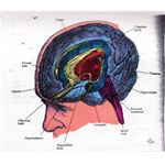 Illustration of the Limbic System