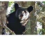Wayward Florida Black Bear Stuck in a Neighborhood Tree