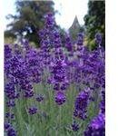 natural herbs for fibromyalgia
