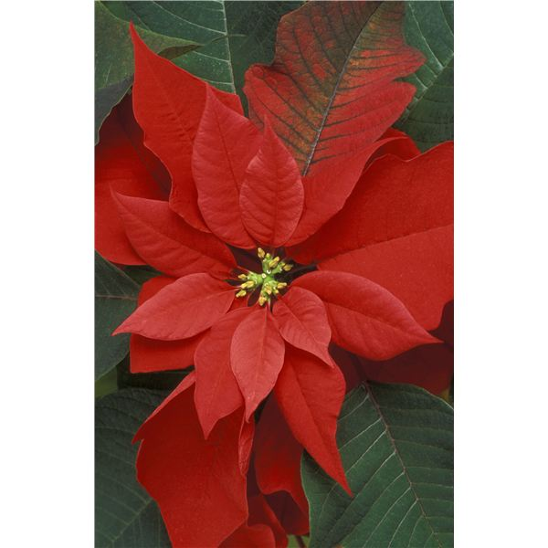 Celebrate Poinsettia Day: Multicultural Lesson for Kindergarten