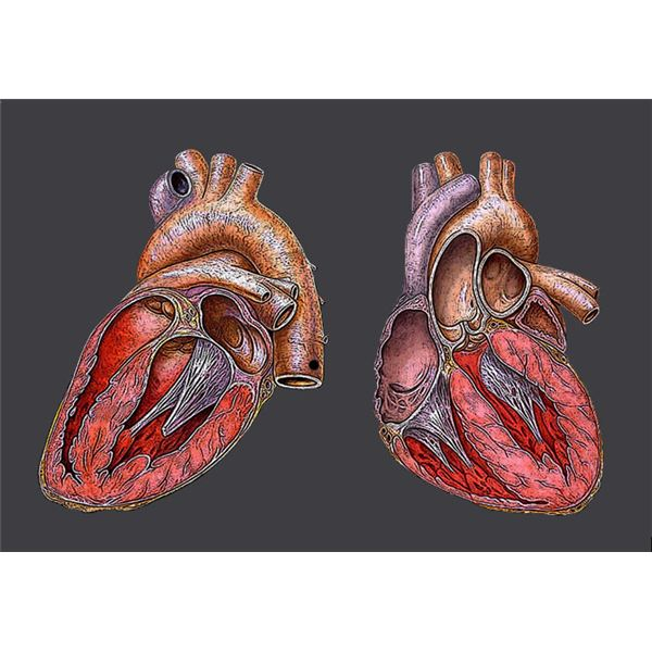 What Causes Heart Palpitations and What Medical Conditions Are They Associated With?