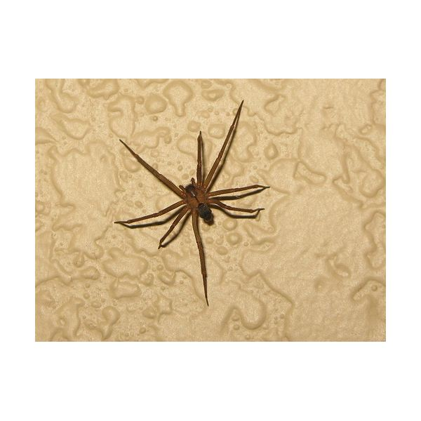 Brown Recluse Spider Bites: Are They Venomous and How Are They Treated?
