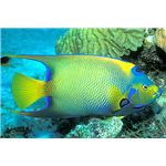 queen angelfish lazslo-photo