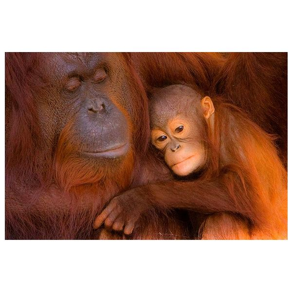 Orangutan Facts: Find Information on This Interesting Great Ape