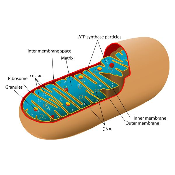 Who Discovered The Mitochondria Many Scientists Were
