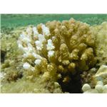 Carbon Can Bleach Coral Reefs (image from NOAA)