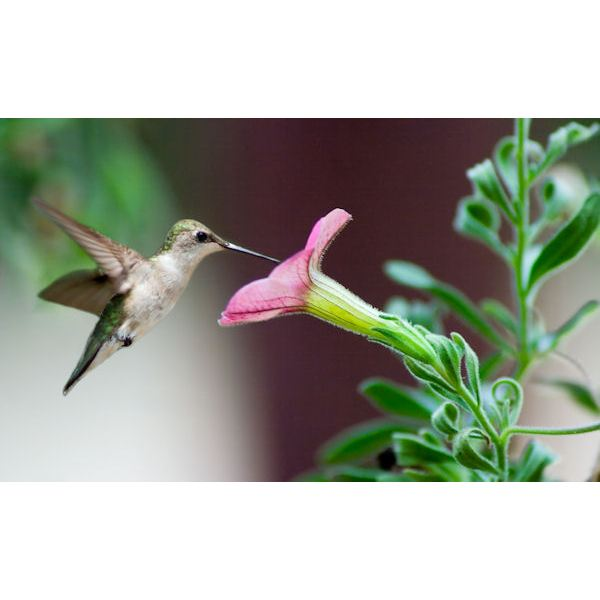 Hummingbird and Morning Glory