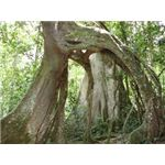 Arched tree in Mabira forest