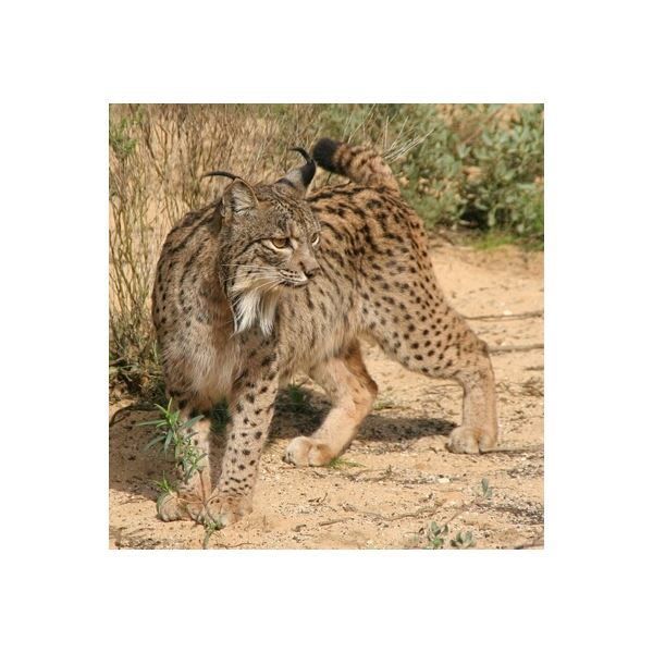 Interesting Facts About The Iberian Lynx: Description
