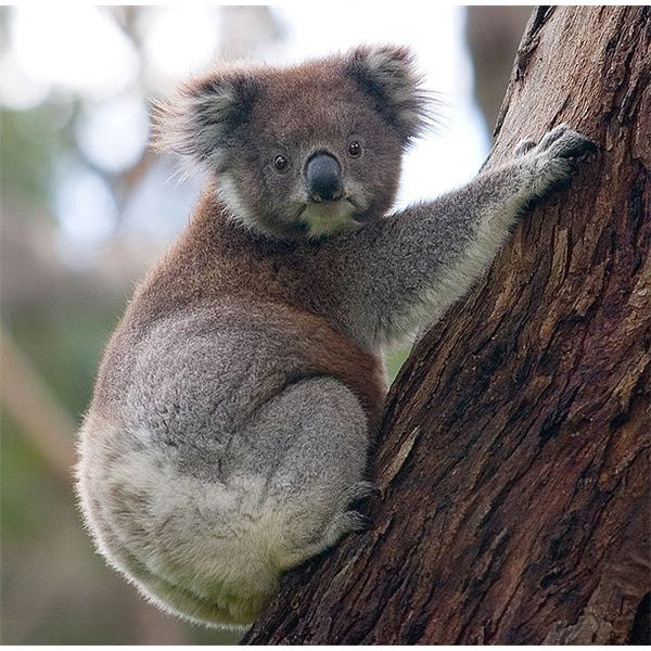 610px-Koala climbing tree