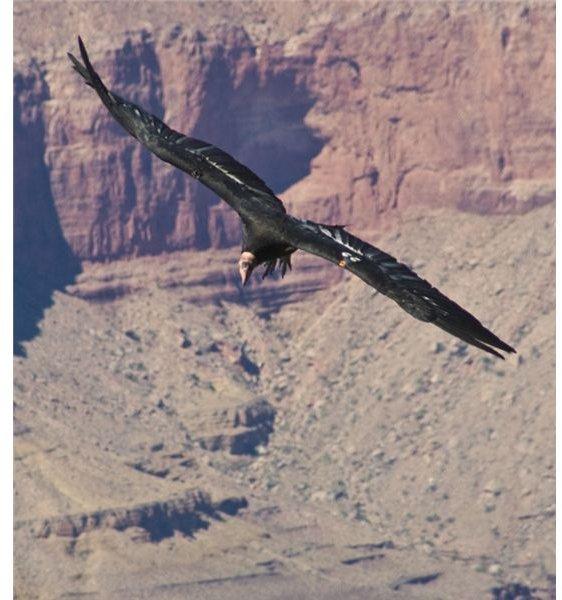 California Condor flying over the canyon.
