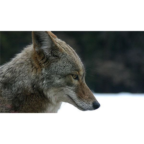 800px Coyote Portrait Begin By Preparing Your Image For Use With The Coloring Book Effect Photoshop