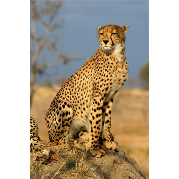 Cheetah - image released under Creative Commons License