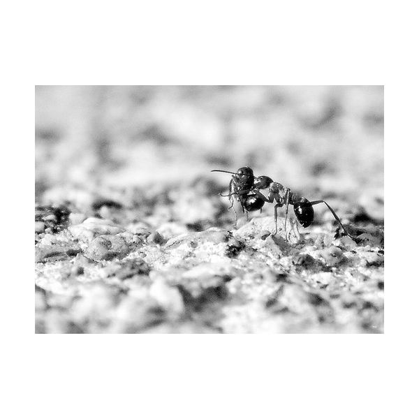 """""""Ant"""" by Olivier Bareau"""