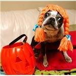 a boston terrier halloween