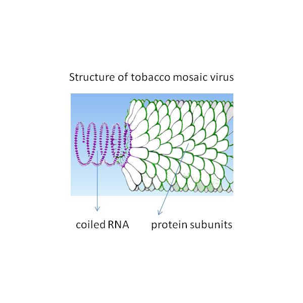 Structure of TMV