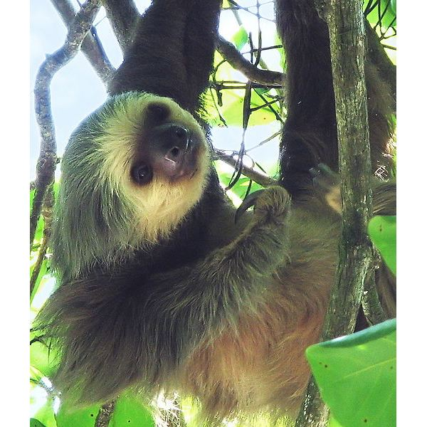 Two-toed sloth (Choloepus hoffmanni)