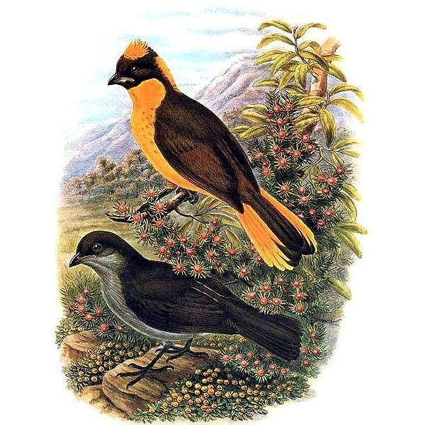 Golden Bowerbird: male (top) and female