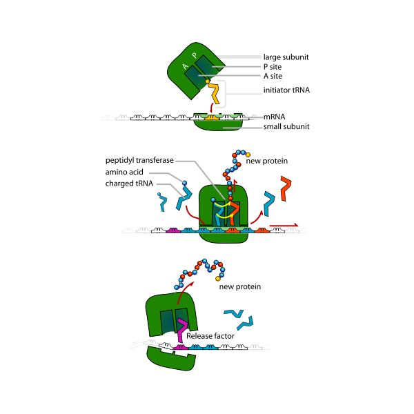 Diagram of Ribosome Protein Synthesis